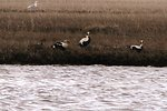 King Eider pair hanging out with a few Spectacled Eider males