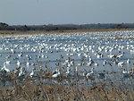 Prime Hook waterfowl in Refuge Marshes