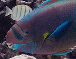 uhu uliuli, or spectacled parrotfish