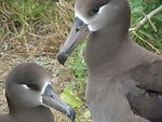 black-footed albatross pair