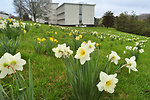 Daffodils in Bloom Federal Buiding 2014 Oak Ridge