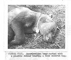 (1961) Anesthetized Bear