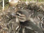 Pintail duckling close-up