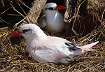 red-tailed tropicbirds