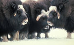 Muskox Up Close on Nunivak Island