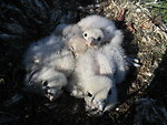 Gyrfalcon nestlings in nest