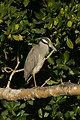 Yellow-crowned Night-Heron, J.N. 'Ding' Darling NWR