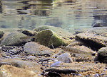 juvenile salmon near Russian/Kenai River confluence, Alaska