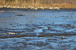 Dead fish at Trustom Pond National Wildlife Refuge (RI)
