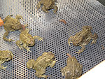 Wyoming Toads at Saratoga NFH