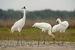 Whooping cranes at Aransas NWR