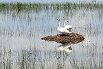 Trumpeter Swan Pair Lacreek NWR