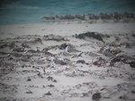 Mixed shorebird flock through spotting scope