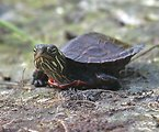 Hatchling Painted Turtle