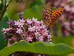 Aphrodite Fritillary on Milkweed Flower
