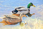 Mallard pair on Sand Lake WMD