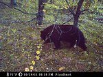 snufflling bear