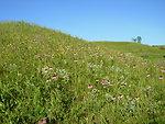 Hills of Coneflowers