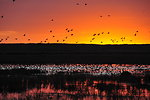 Mallards pile into Lacreek NWR at Sunset 1