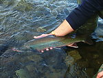 Dolly Varden char being released