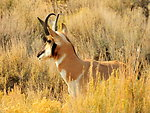 Pronghorn Buck Seedskadee NWR 3