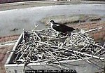 Osprey cam at Blackwater 2