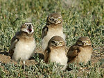 burrowing owls in summer