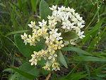 Ovalleaf Milkweed