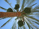Palm tree with figs