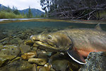 Bull Trout Underwater