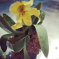 Peter Black orchid at the U.S. Botanic Garden.