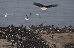 Look out, murre! Oregon Islands NWR