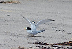Photo of the Week - Least Terns (ME)