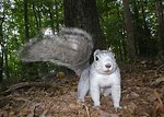 Delmarva fox squirrel caught on remotely triggered camera