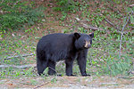 Photo of the Week - Black Bear (ME)