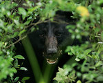 black bear, Alligator River National Wildlife Refuge
