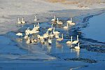 Trumpeter Swans wintering along Green River on Seedskadee NWR 01