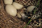Bullsnake Eating Mallard Egg