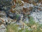 Gyrfalcon fledgling