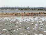Greater flamingos in salt ponds.
