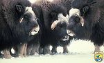 Muskox on Nunivak Island, Alaska