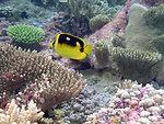Butterfly fish at Palmyra Island National Wildlife Refuge