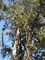 Santa Cruz Cypress