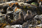 12th Place - American River Otters
