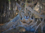 Bobcat at Sonny Bono NWR-2