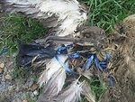 Dead bird in balloon string