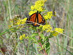 Photo of the Week - Monarch butterfly on goldenrod (RI)