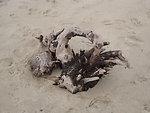Driftwood on beach at Monomoy