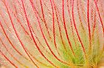 Prairie Smoke (Geum triflorum) Closeup