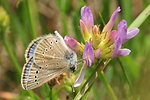 Silvery Blue Butterfly feeding on Standing Milkvetch on Sand Lake Wetland Management District